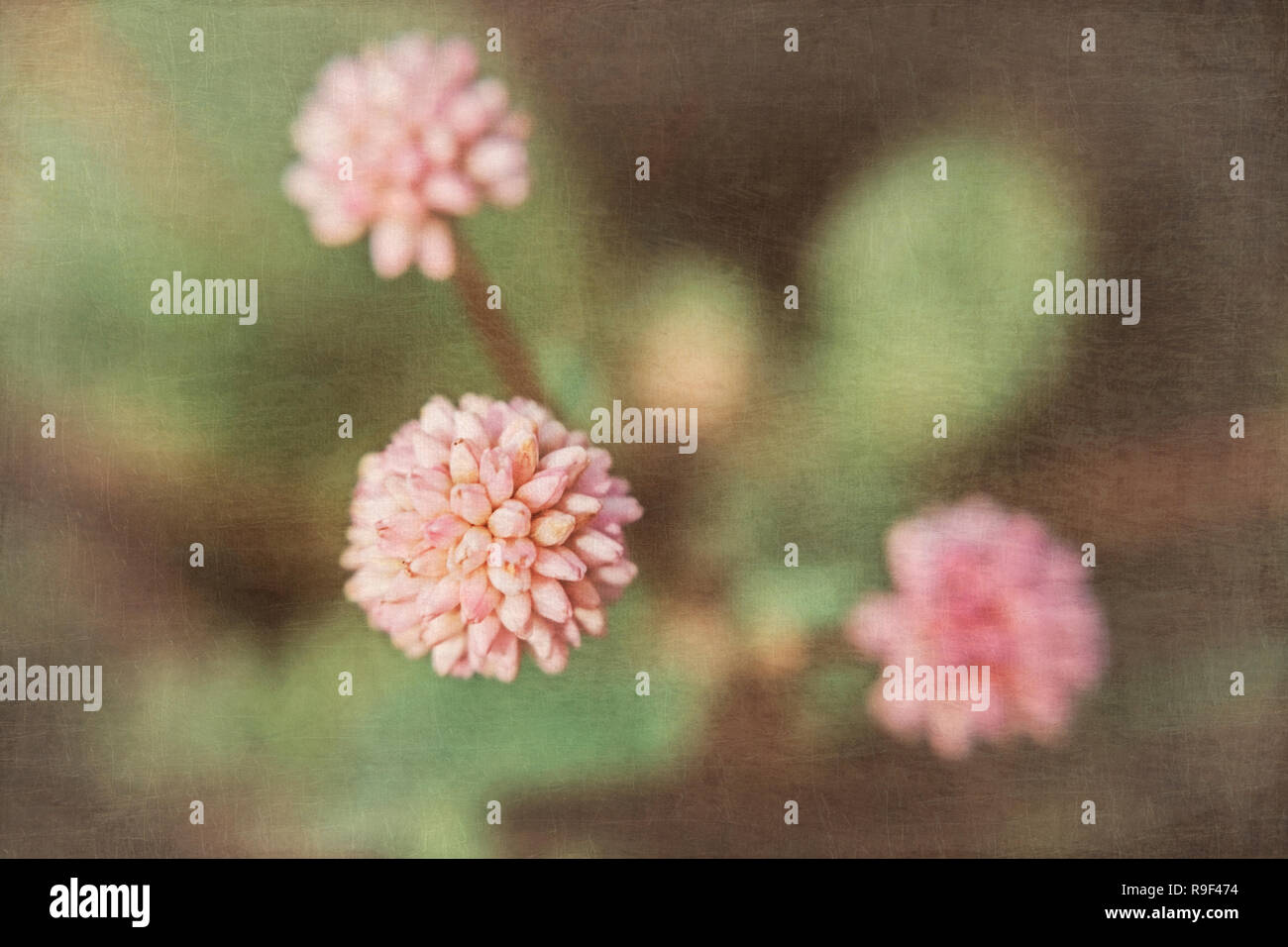 Three small pink tropical flowers on a dark background with a superimposed texture - Stock Image