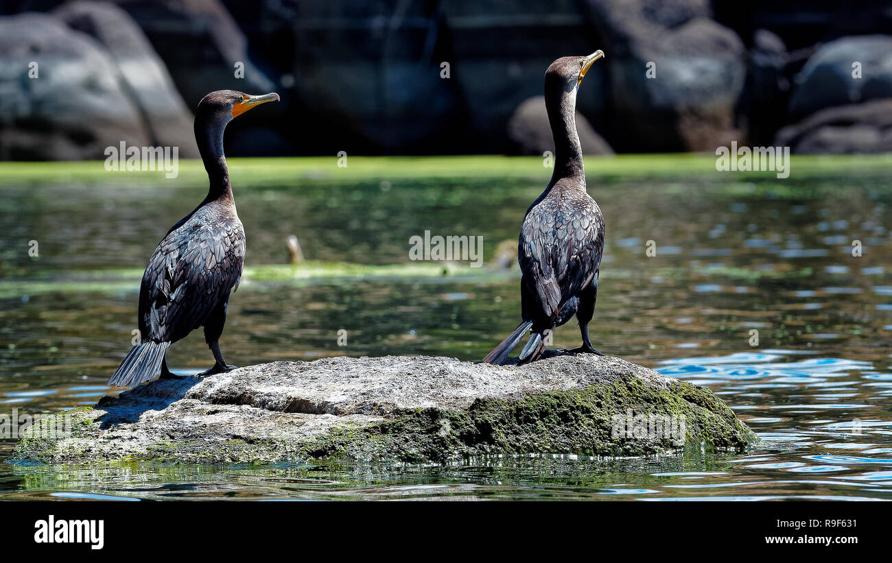Neotropic Cormorant Watson Lake Arizona - Stock Image