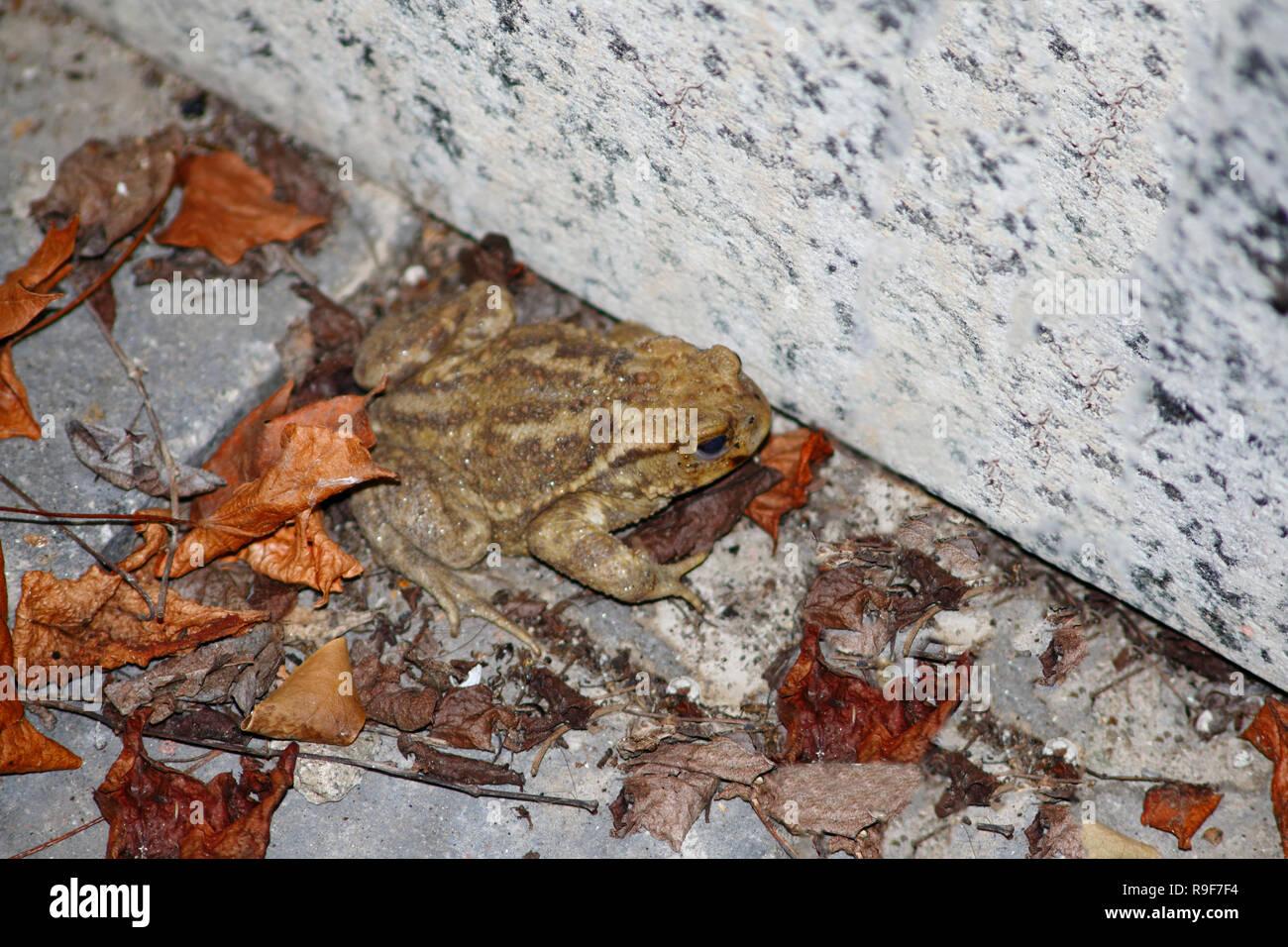 Kröte, gemeine Erdkröte sitzt an ängstlich an einer Stein Mauer im Laub - Stock Image