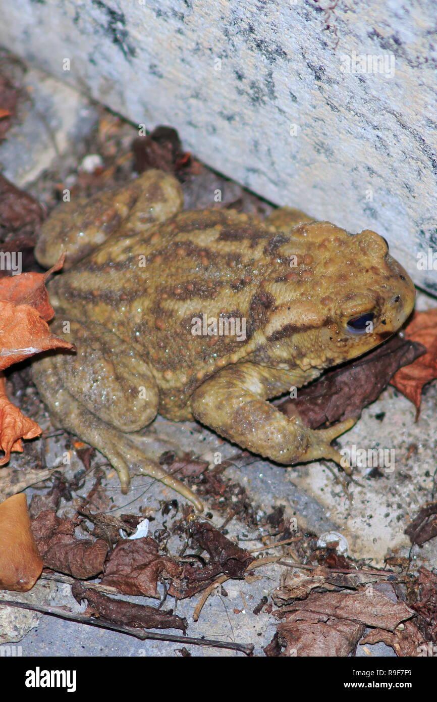 Kröte, gemeine Erdkröte sitzt an ängstlich an einer Stein Mauer im Laub Stock Photo