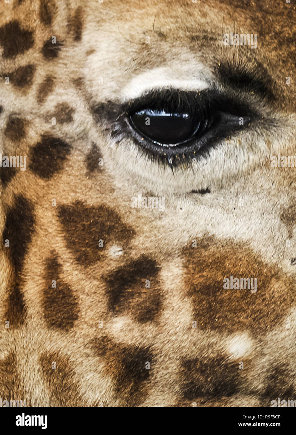 Giraffe in the wild. An animal with a long neck. Wild world of the African savannah - Stock Image