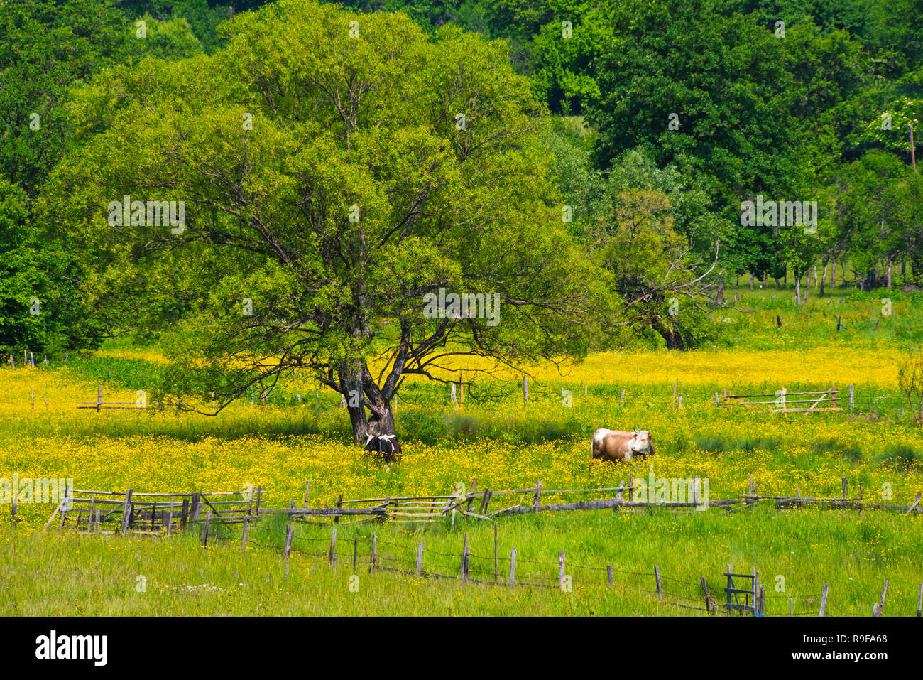 Village and cattle grazing on meadow, southern Bosnia and Herzegovina - Stock Image