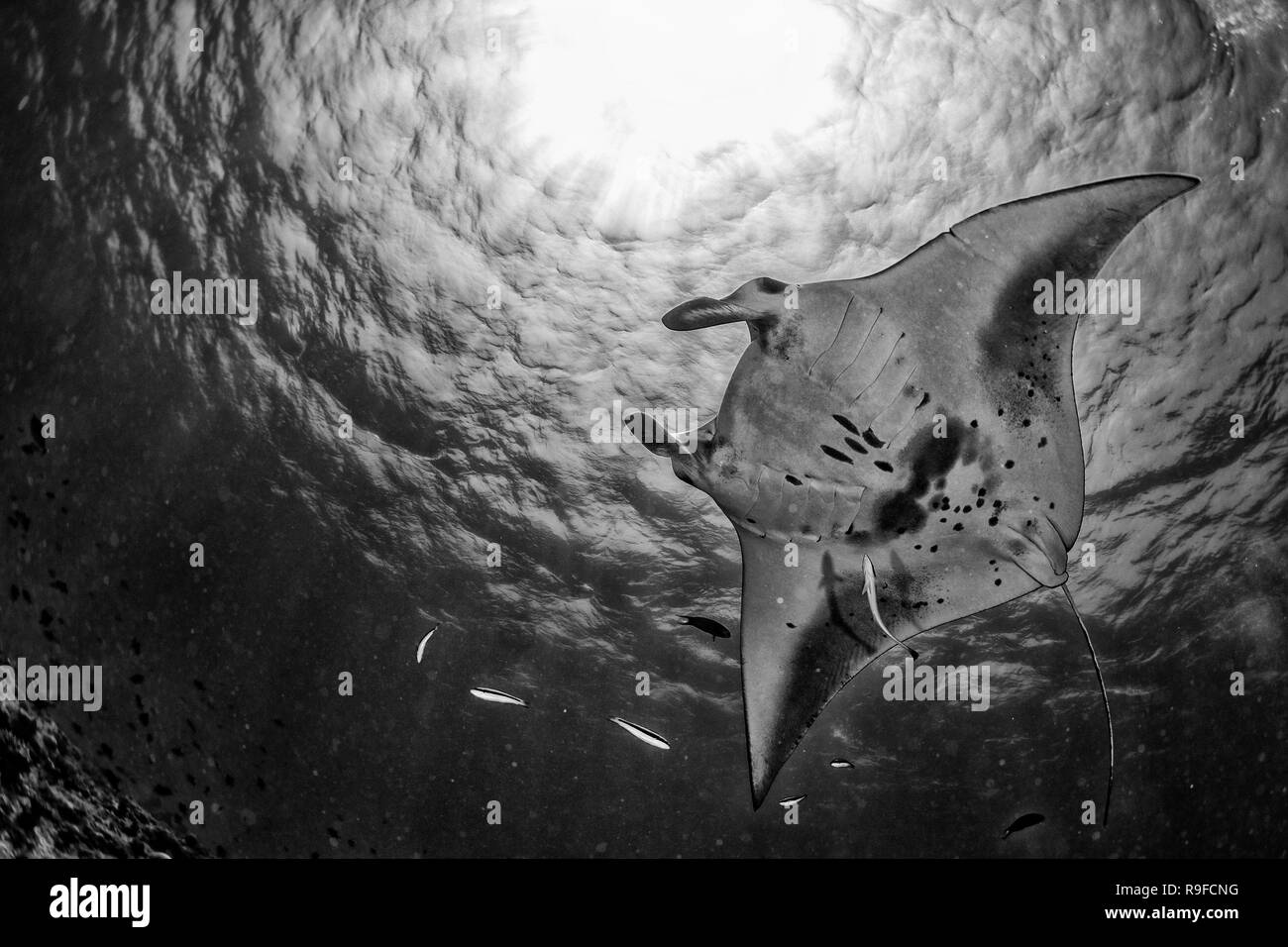 Manta in the blue background while diving maldives in b&w - Stock Image