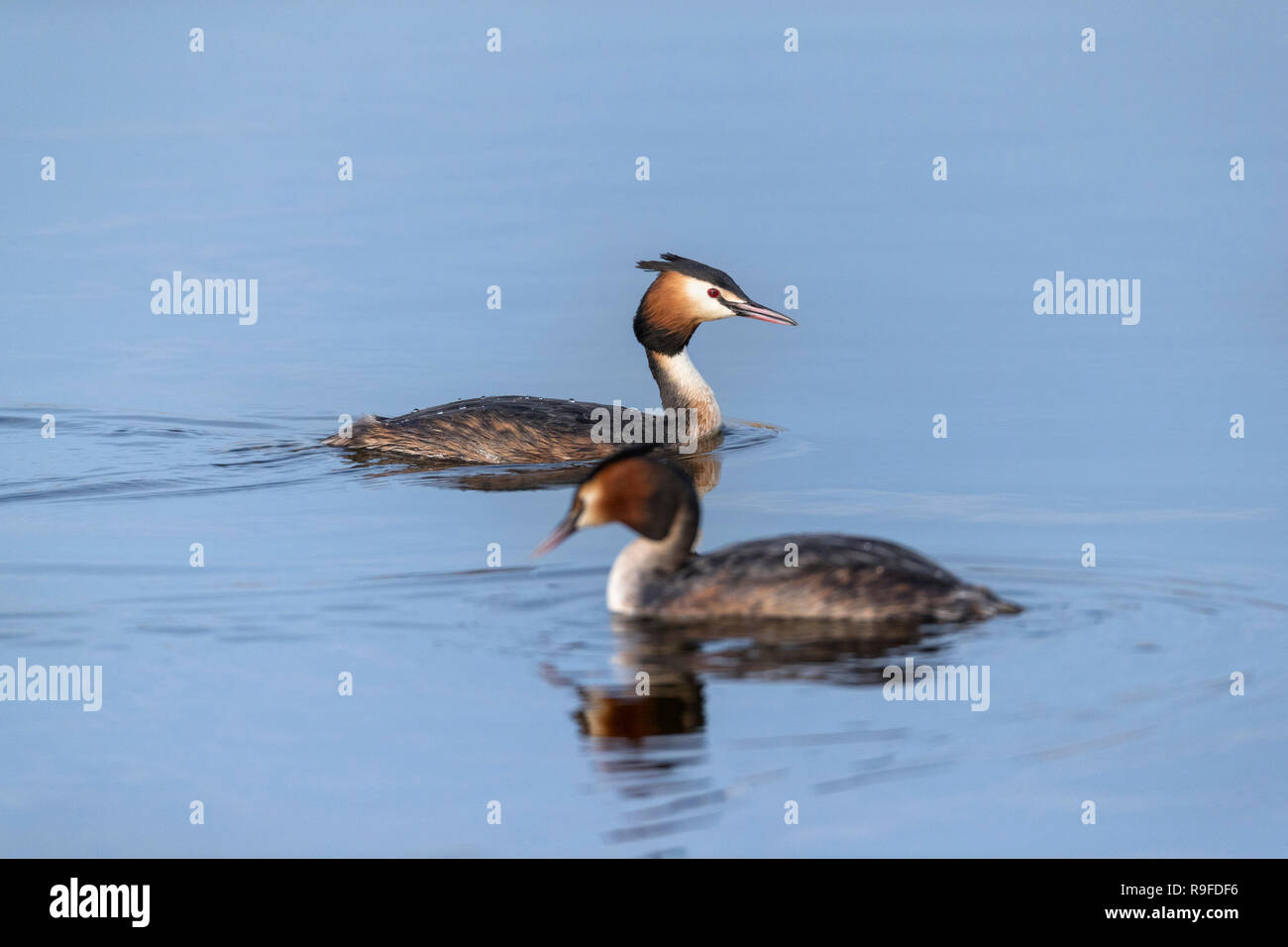 Great Crested Grebe; Podiceps cristatus Two on Water Cornwall; UK - Stock Image