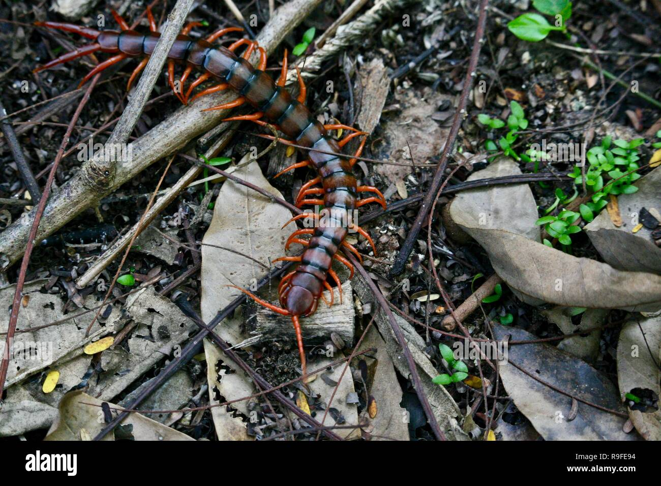 A centipede crawling along the jungle floor in Cambodia - Stock Image