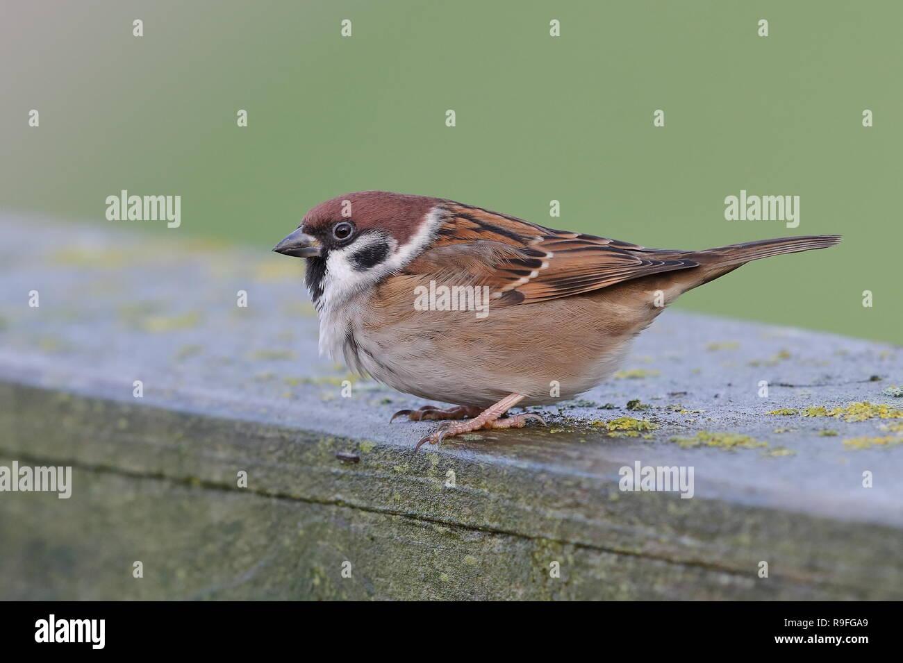Tree Sparrow - Stock Image