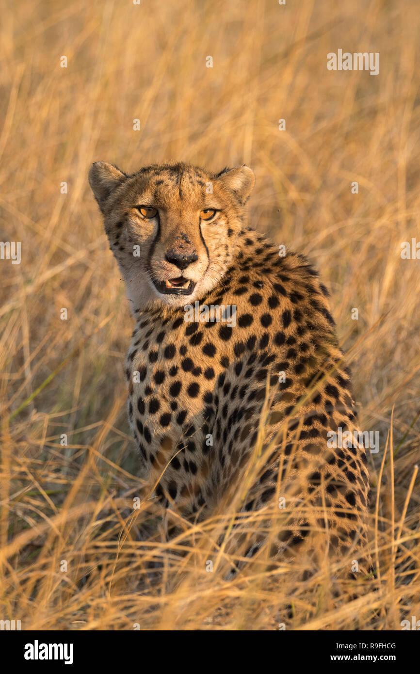 Cheetah (Acinonyx jubatus), Khwai conservancy, Okavango, Botswana, - Stock Image