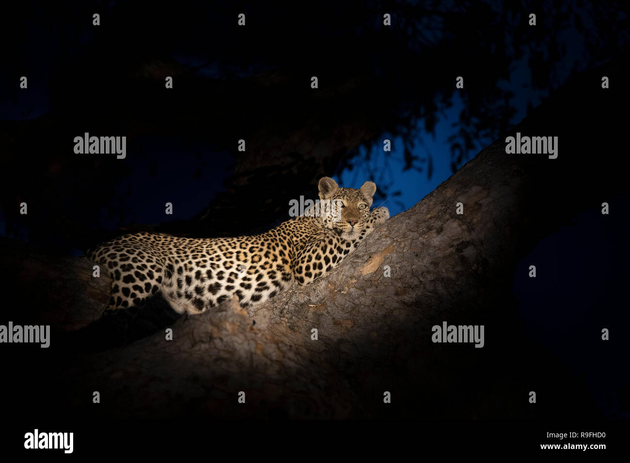 Pregnant leopard (Panthera pardus), Khwai conservancy, Botswana, - Stock Image