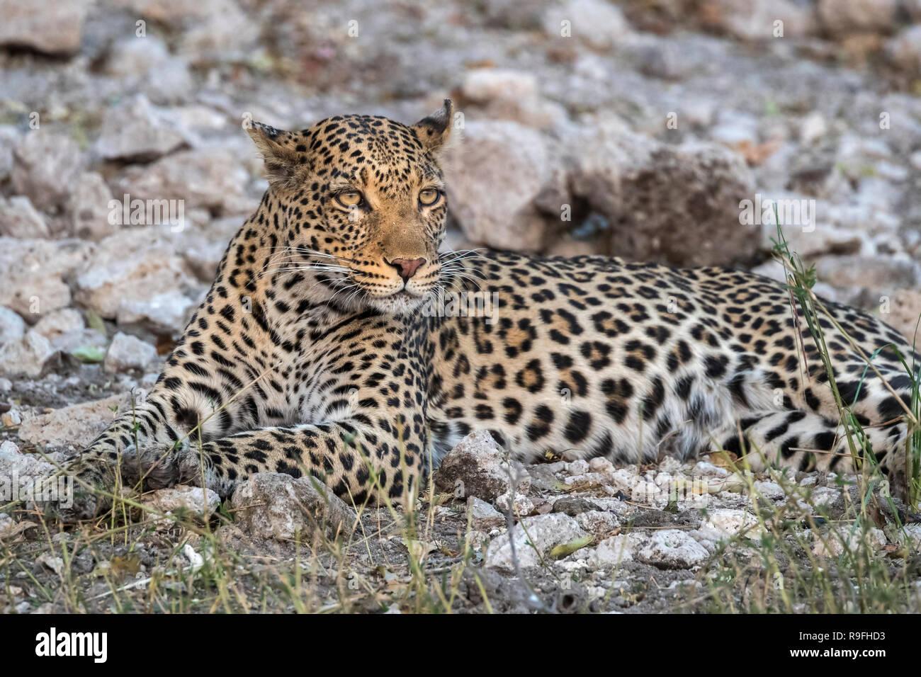 Leopard (Panthera pardus) female, Chobe national park, Botswana, - Stock Image