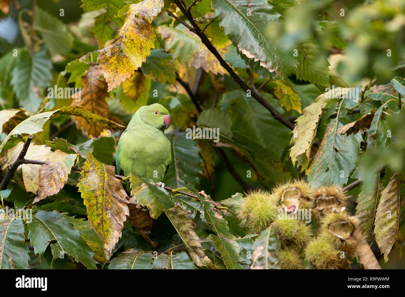 Ring Necked Parakeet; Psittacula krameri Single Female in Sweet Chestnut Tree London; UK Stock Photo