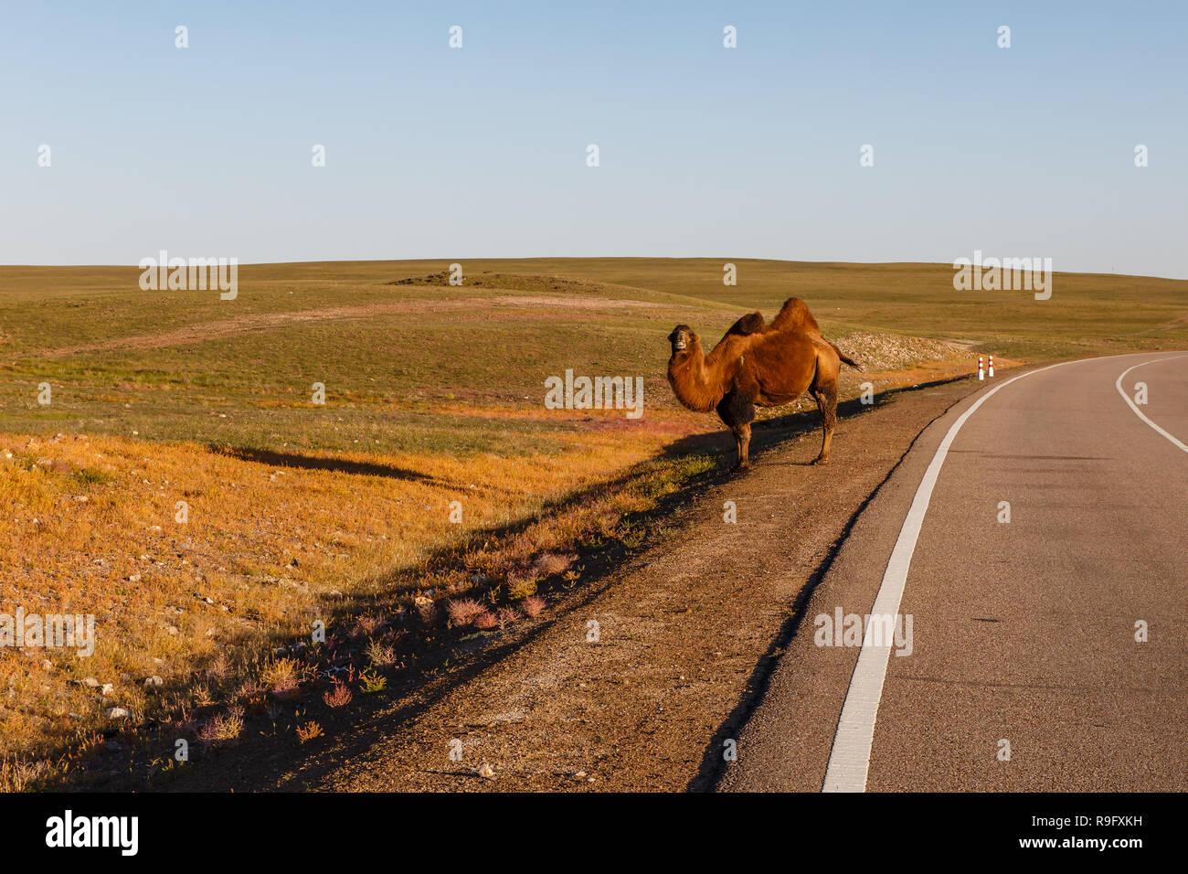 two-hump camel stands near the road - Stock Image