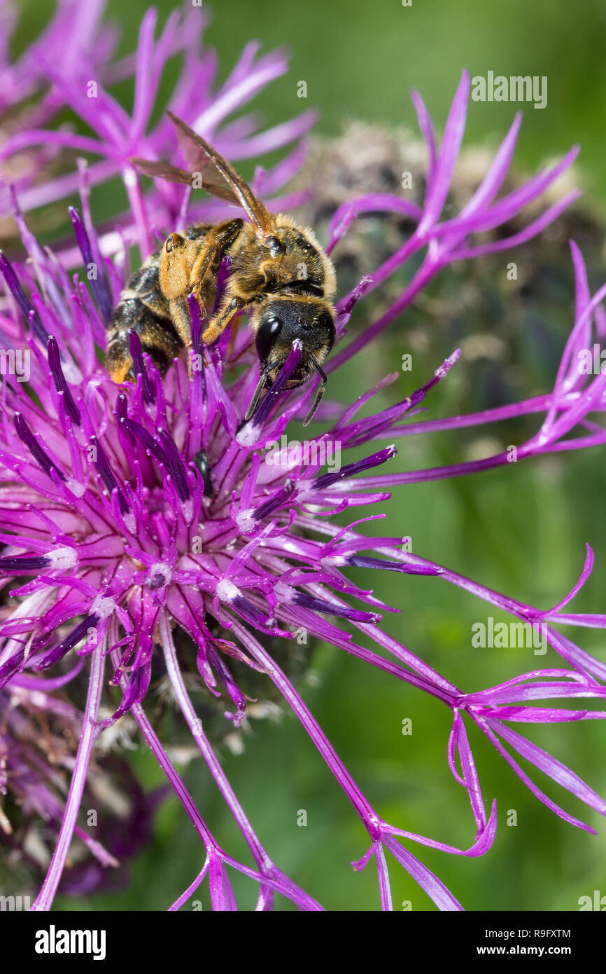 Dickkopf-Furchenbiene, Furchenbiene, Schmalbiene, Weibchen, Halictus maculatus, Tythalictus maculatus, female, sweat bee, flower bee, halictid bee, Fu - Stock Image