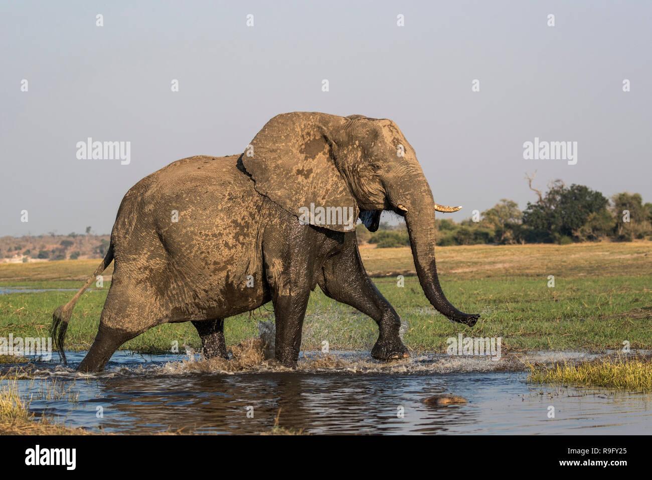 African elephant (Loxodonta africana) crossing Chobe river, Botswana, - Stock Image