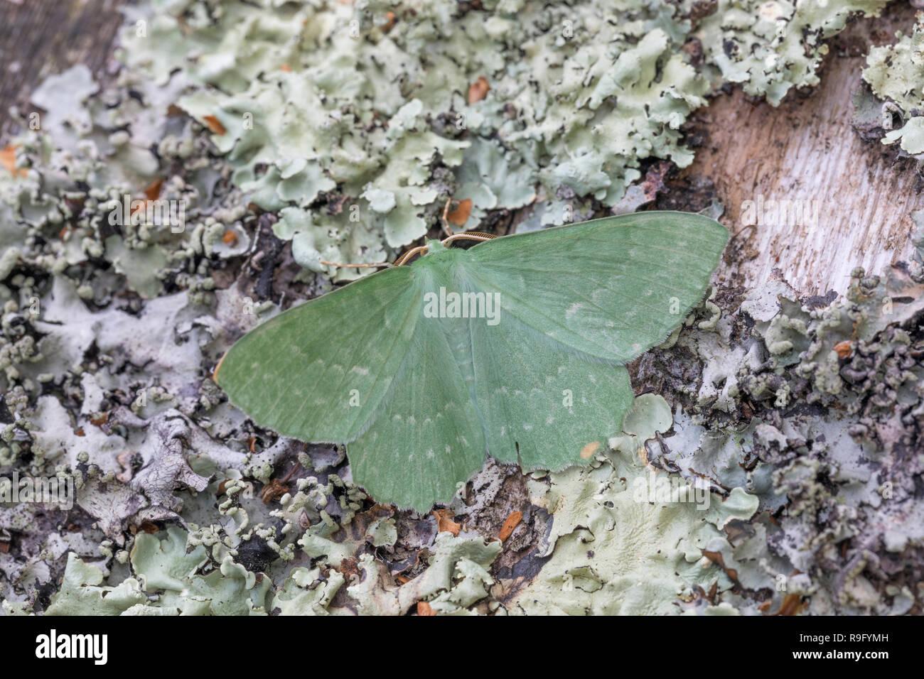 Large Emerald Moth; Geometra papilionaria Single on Lichen Cornwall; UK - Stock Image