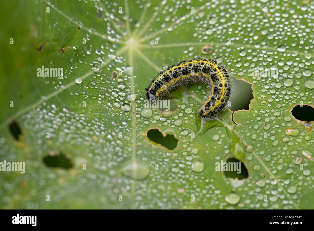 Large White Butterfly Caterpillar; Pieris brassicae Single on Nasturtium Isles of Scilly; UK Stock Photo