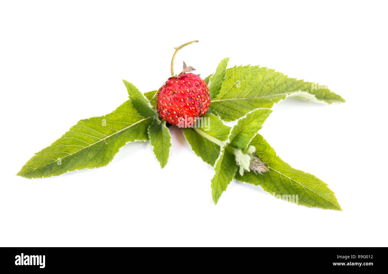 Ripe strawberries and mint leaves isolated on white background - Stock Image