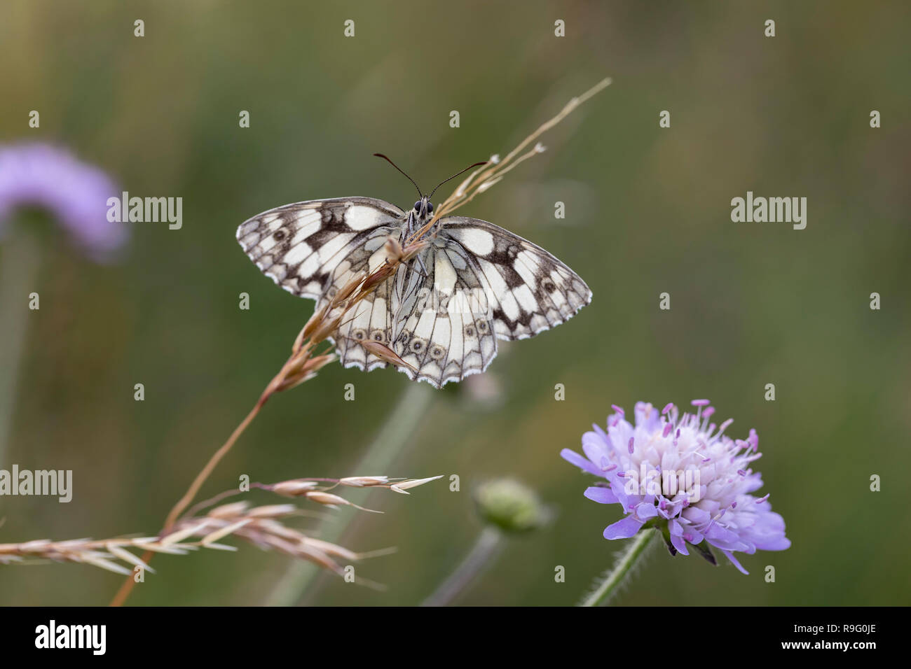 Marbled White; Melanargia galathea Cornwall; UK - Stock Image