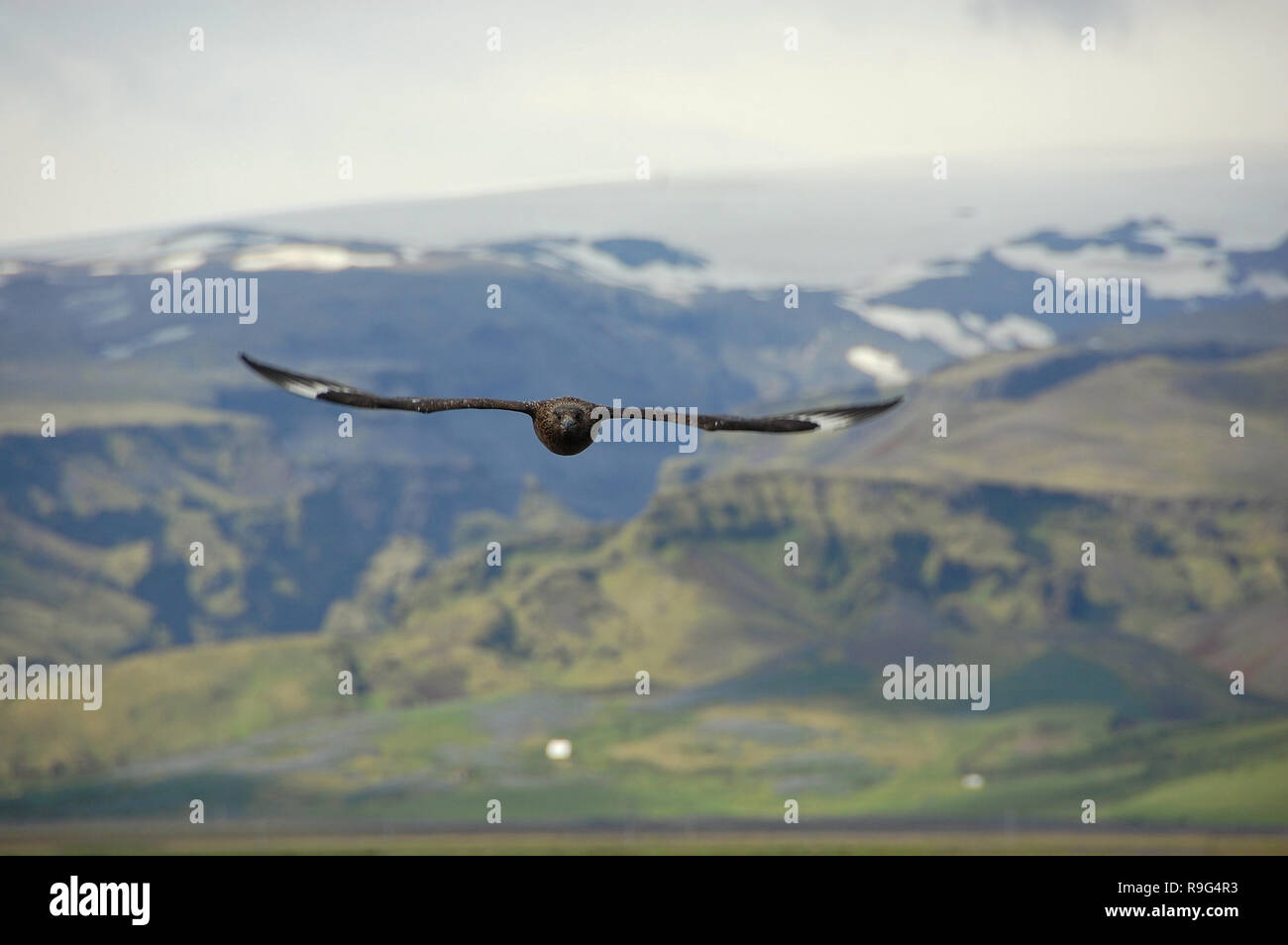 Breeding Great Skua (Stercorarius skua). - Stock Image