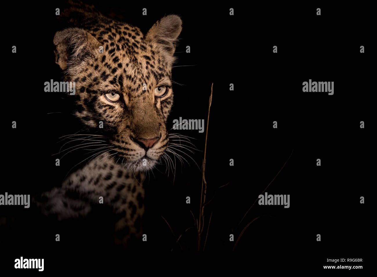 Elusive leopard at night - Stock Image