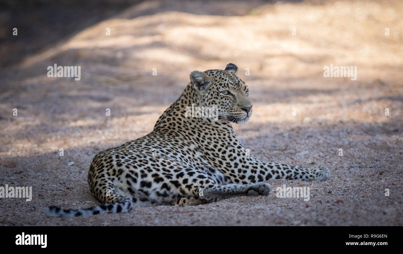 Relaxed female leopard resting in her natural environment. - Stock Image