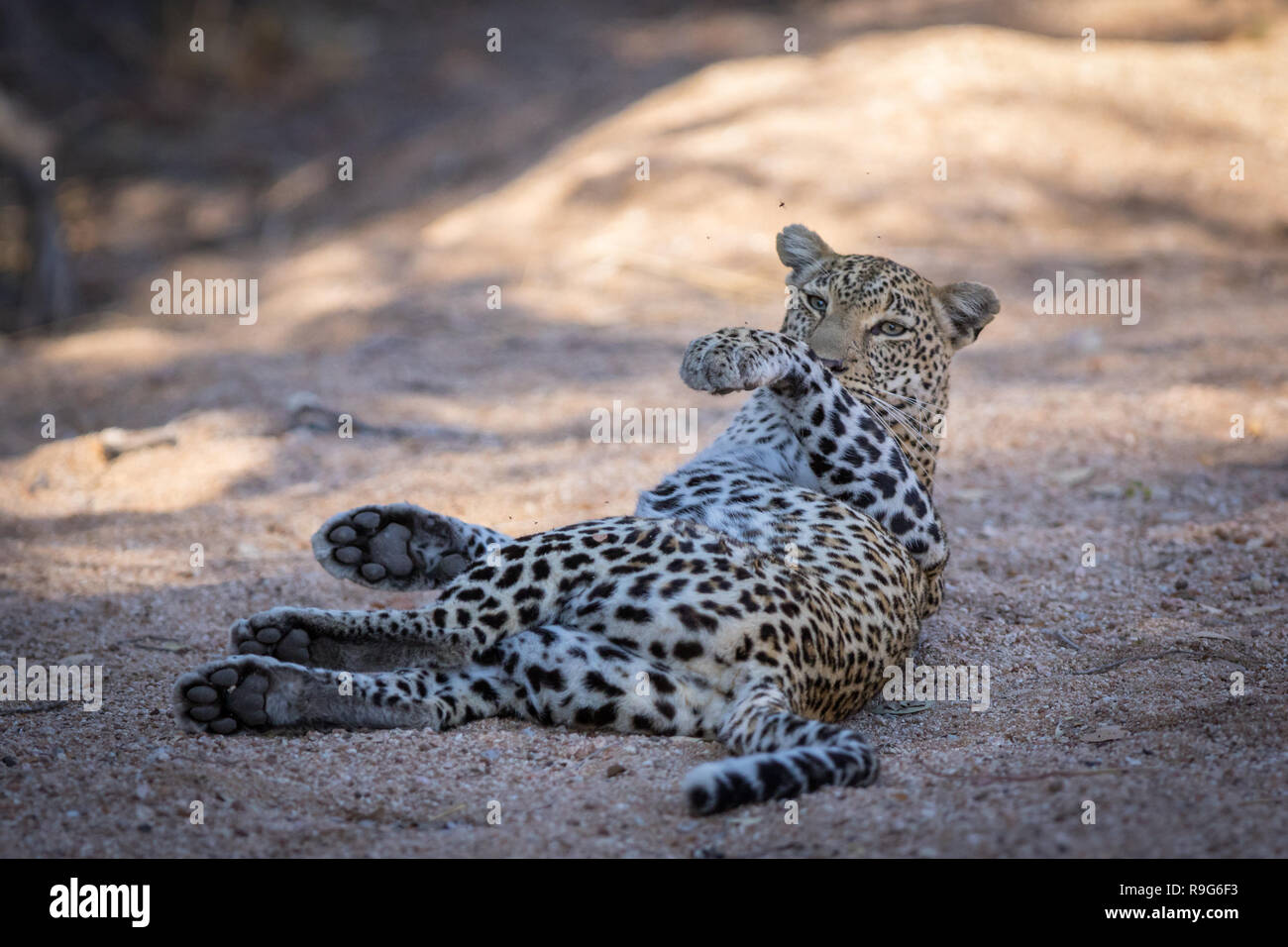 Lazy leopard rolling over. - Stock Image