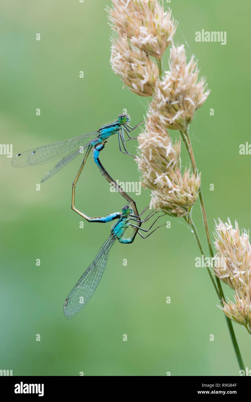 Blaue Federlibelle,Platycnemis pennipes, White Legged Damselfly - Stock Image