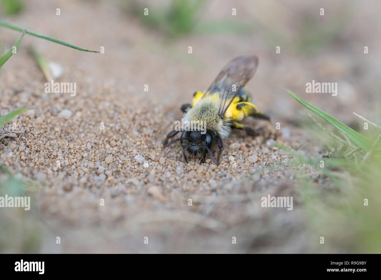 Weidensandbiene, Andrena vaga, Sandy Bee - Stock Image
