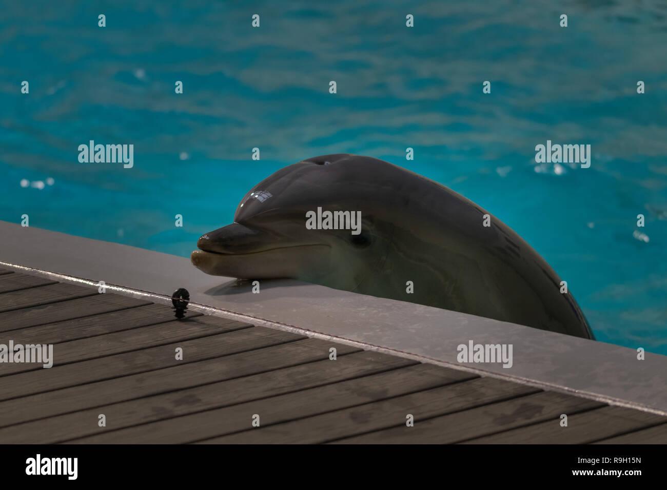 Delfin legt Kopf auf Beckenrand - Stock Image