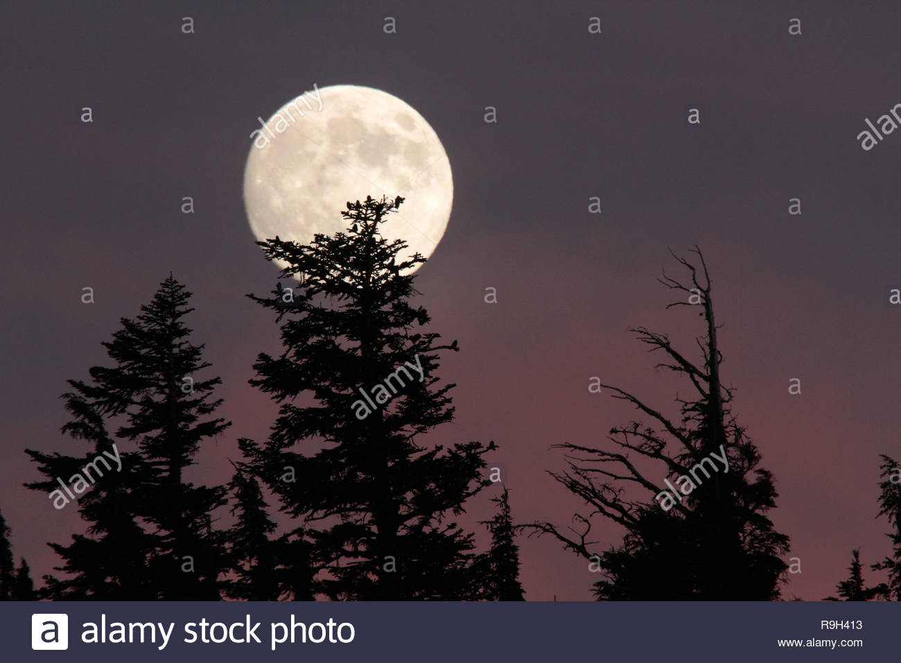 Full Moonrise over Shasta red firs, Crater Lake National Park, Oregon, USA - Stock Image