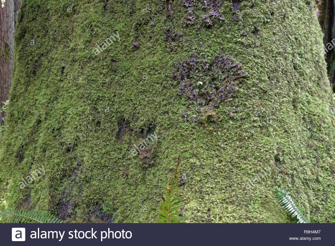 Frog pelt lichen and mosses on Sitka spruce in Prairie Creek Redwoods State Park, California, USA Stock Photo