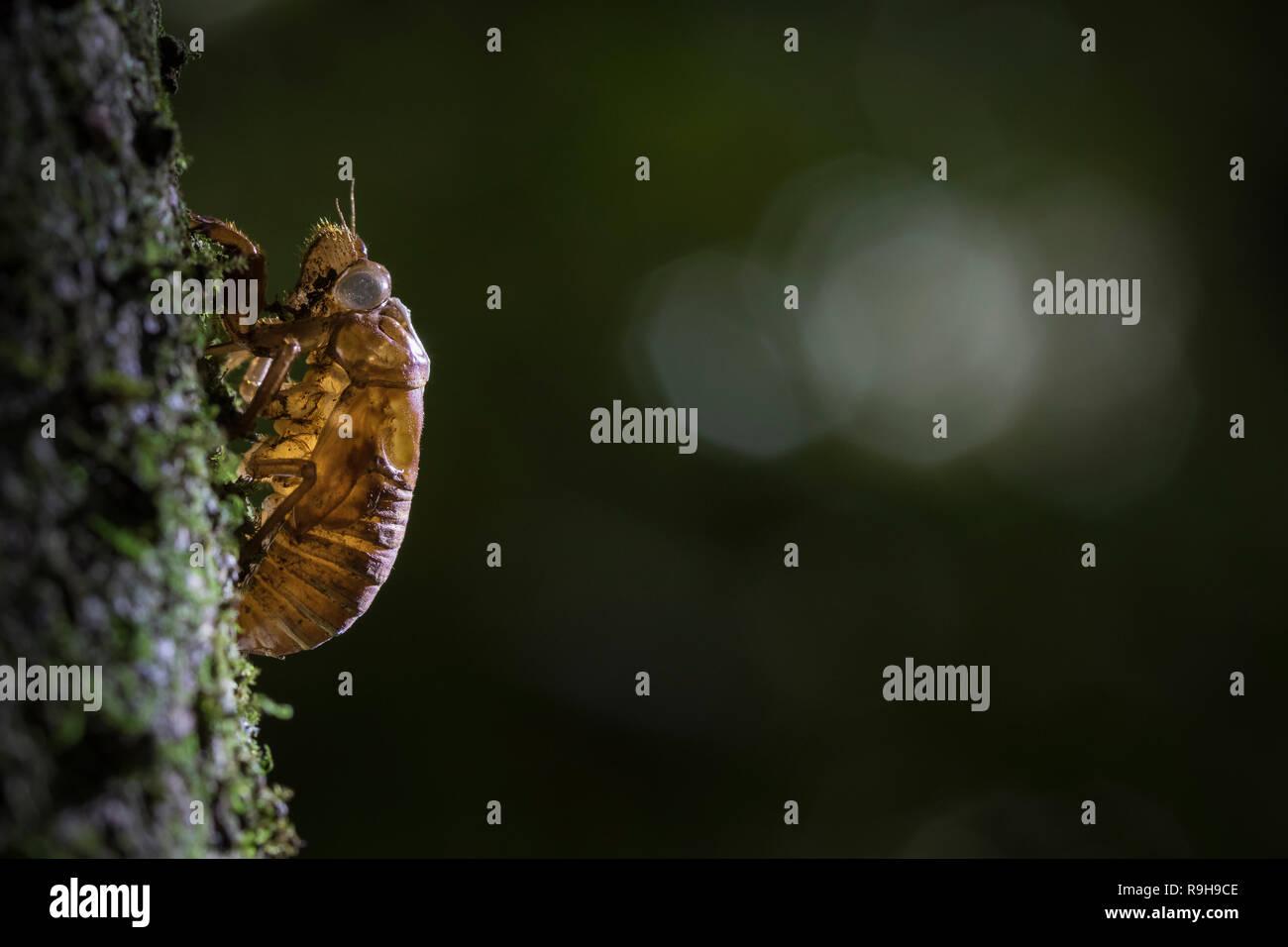 Abandoned exoskeleton of cicada (Cicadoidea) on the bark of a tree. La Selva Biological Station. Costa Rica. - Stock Image