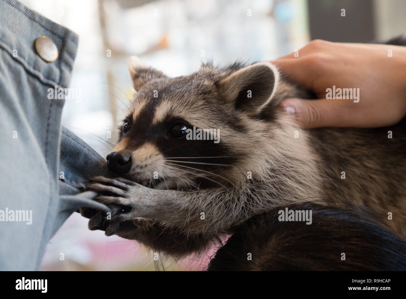 Pet Raccoon Stock Photos & Pet Raccoon Stock Images - Alamy