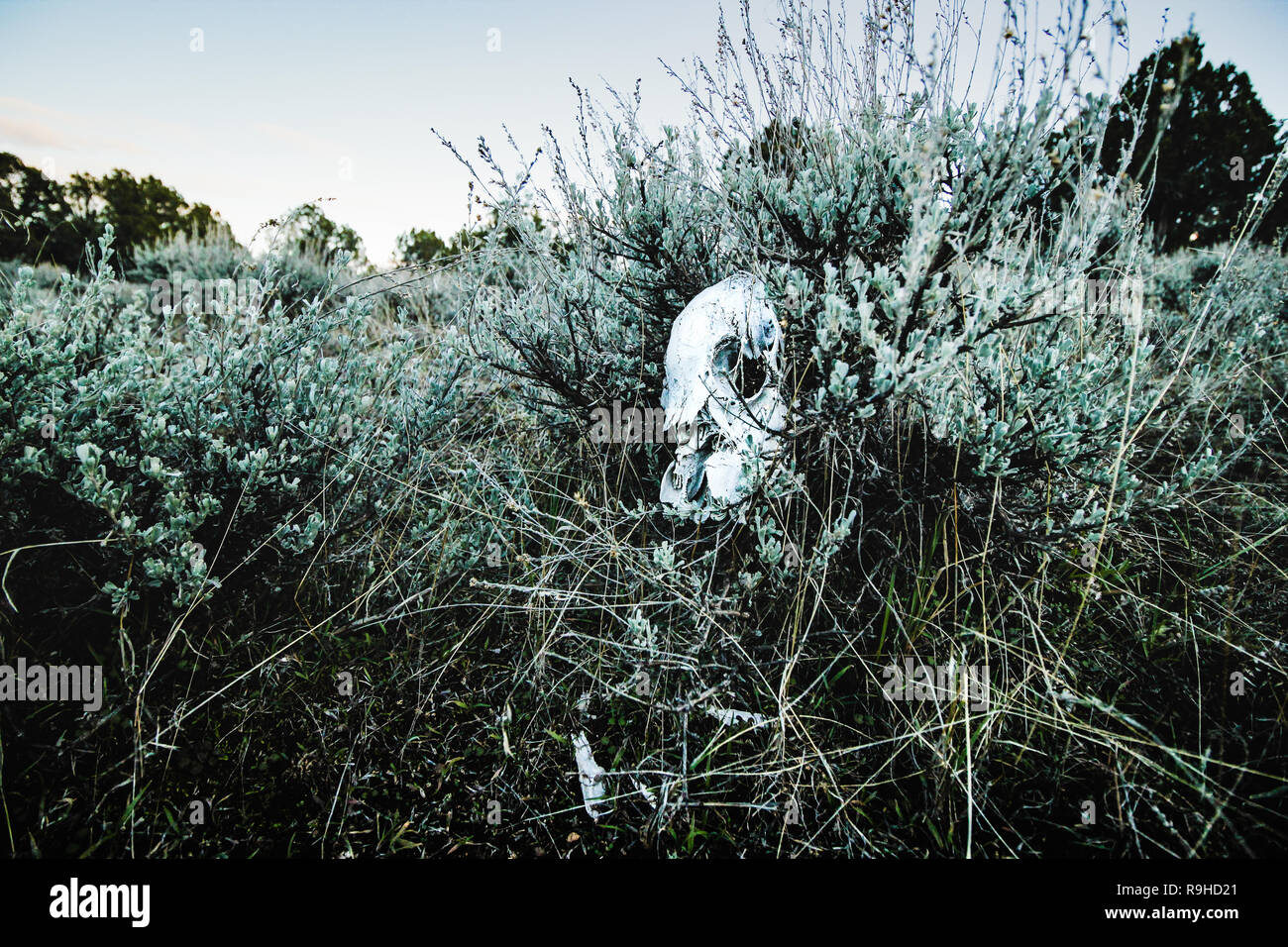 a deer skull sits in sage brush in the high desert of Colorado - Stock Image