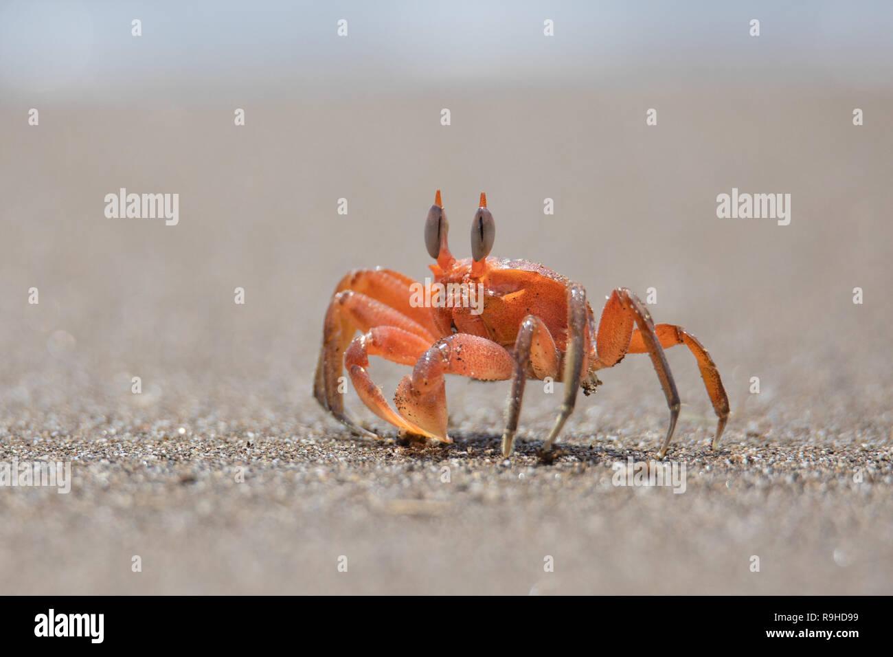 Red ghost crab cangrejo fantasma rojo Isla de la Plata Ecuador Stock Photo