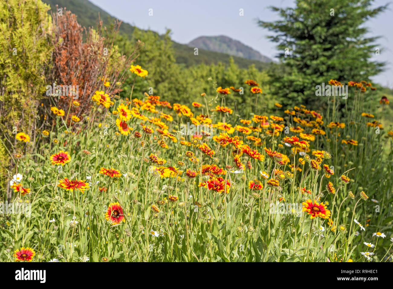 Flowers & mountain view Tirana Albania from Dajti Express Cable - Stock Image