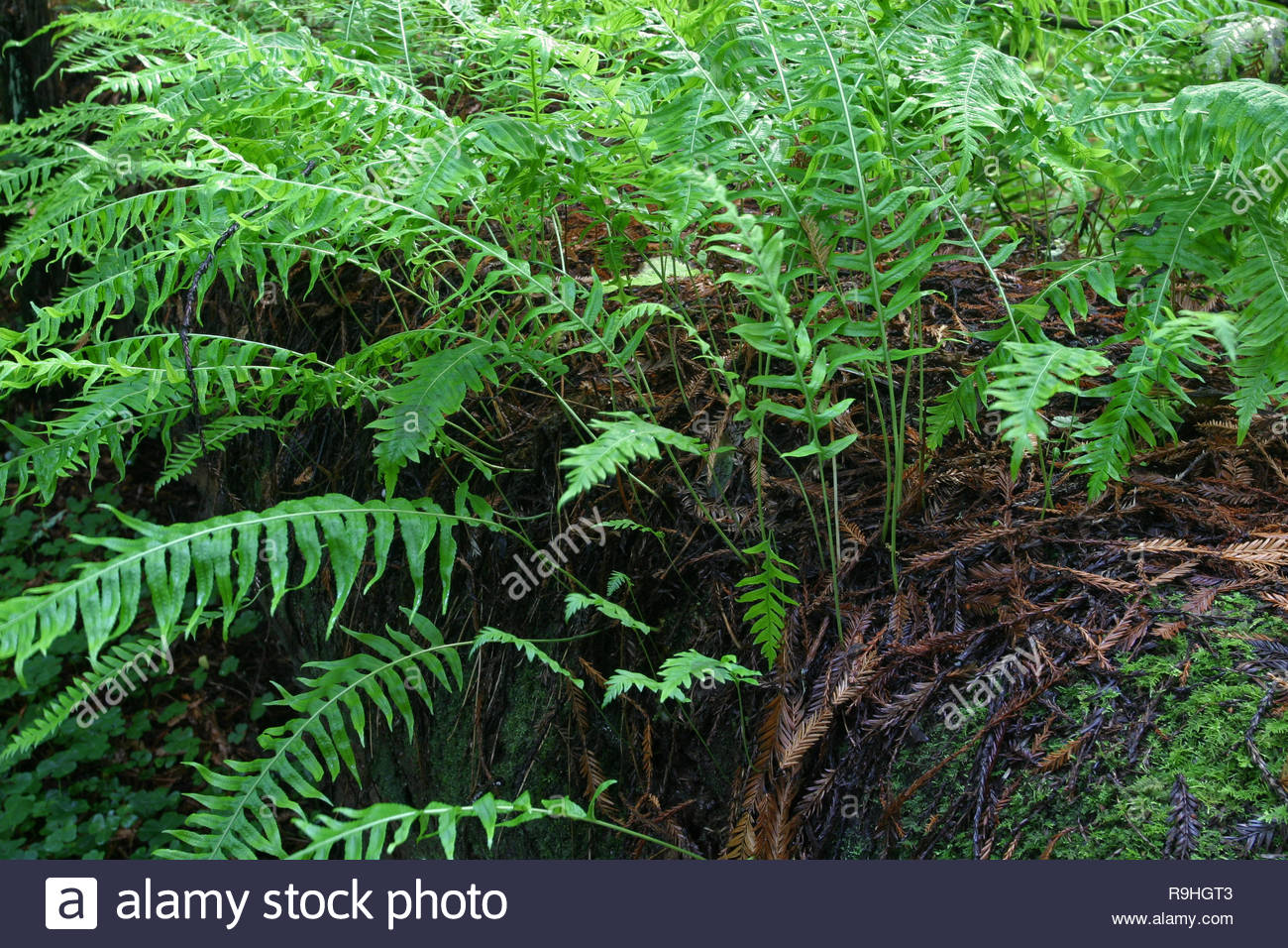 Licorice fern (Polypodium glycrrhiza) on dead tree log redwood in forest, Drury-Chaney Trail, Humboldt Redwoods State Park, California, USA - Stock Image