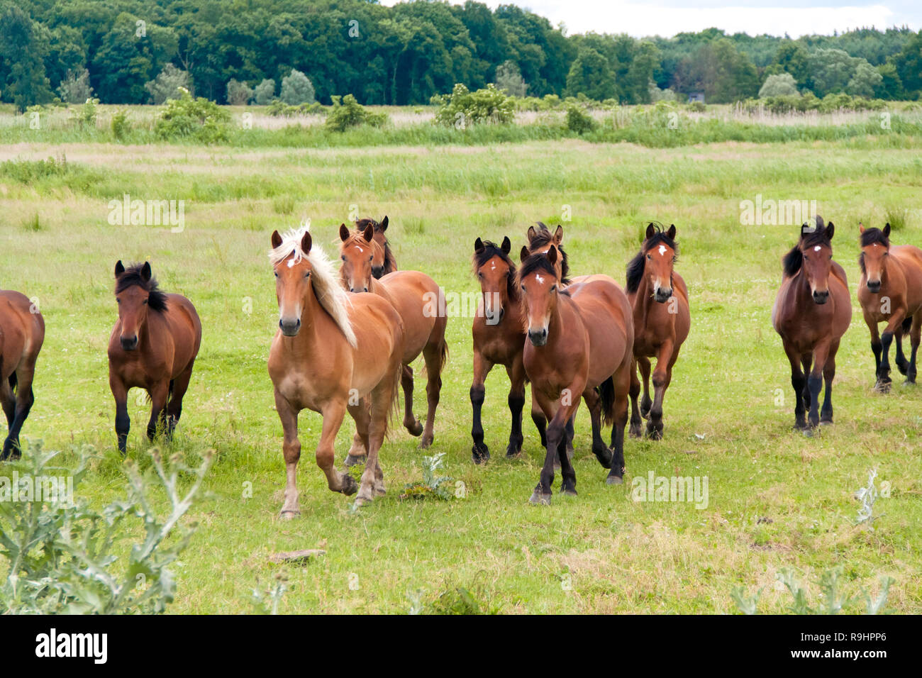 Free running wild horses on a meadow. Country midlands landscape with group of animals. - Stock Image