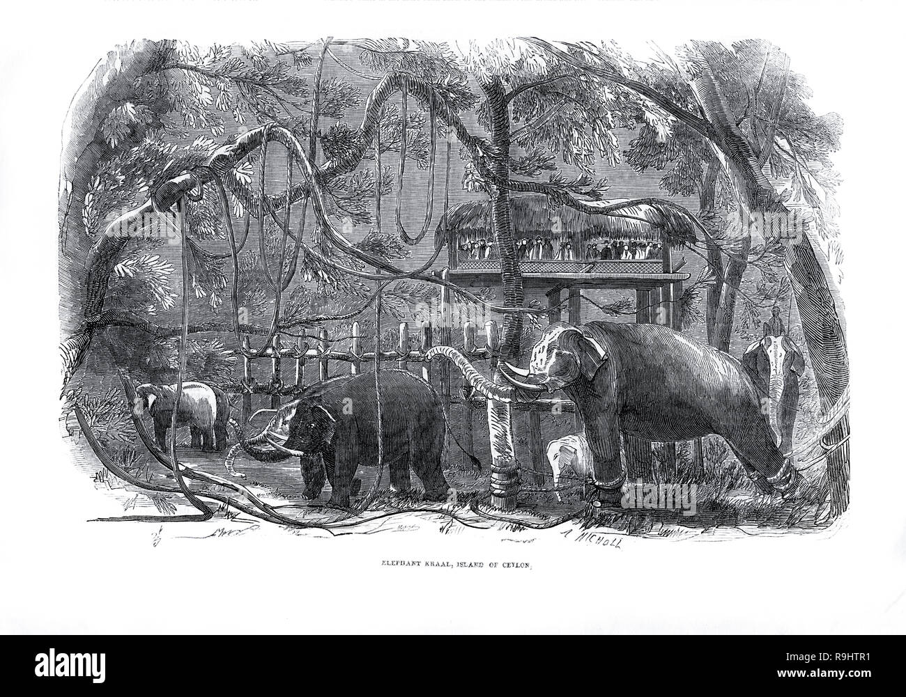 Victorian engraving of an elephant kraal in Ceylon (Sri Lanka) from The Illustrated London News 1851 - Stock Image