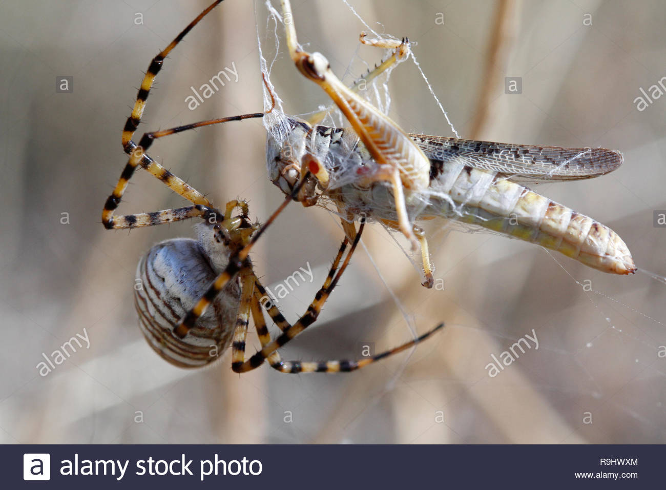 Banded garden spider (Argiope trifasciata) in web wrapping grasshopper, American Prairie Reserve, Eastern Montana, USA - Stock Image