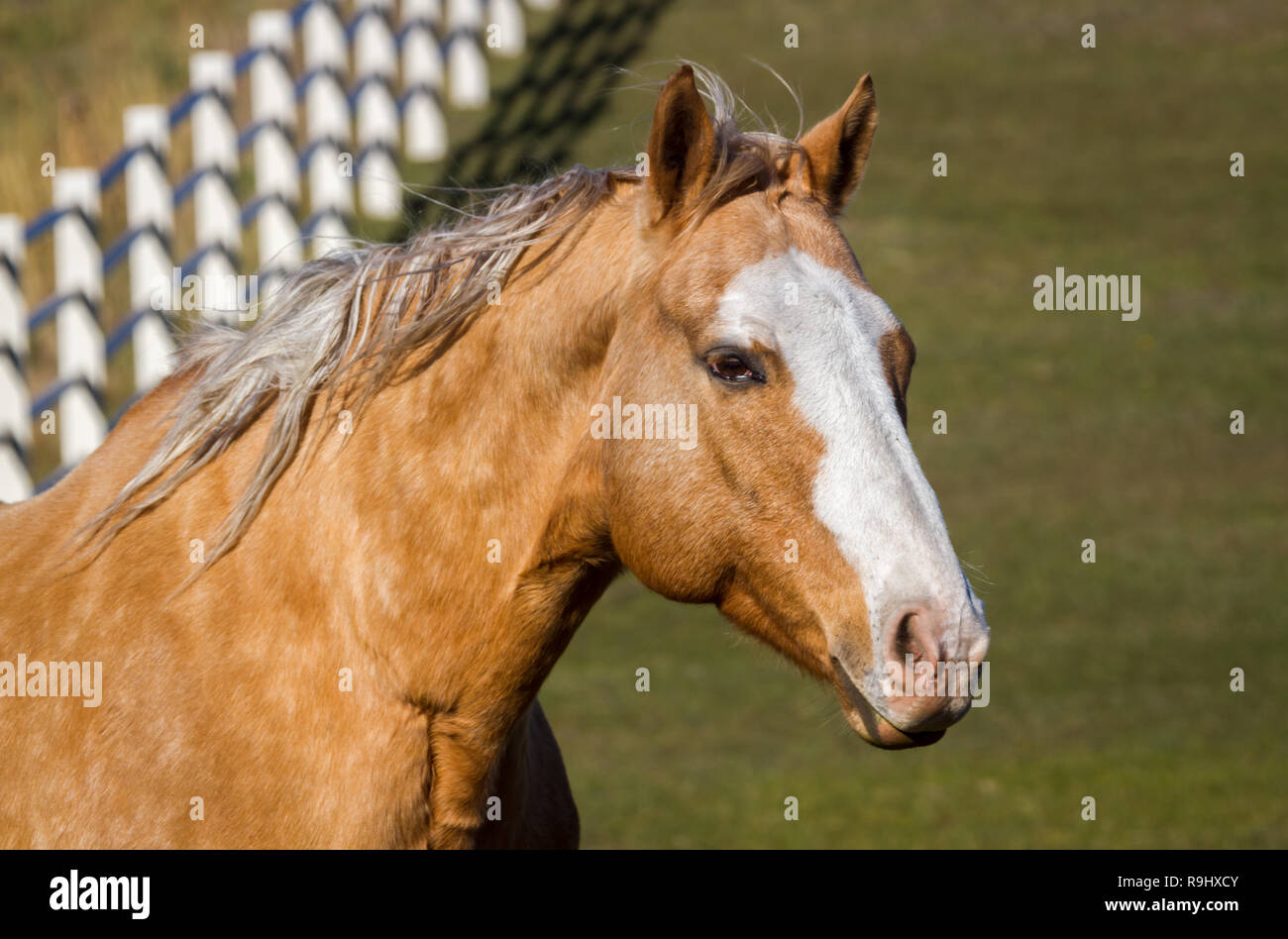 Beautiful Light Brown Horse Side View With Face Lots Of White Prominent Fence Behind In Ranching Country In Fall Rural Alberta Canada Stock Photo Alamy