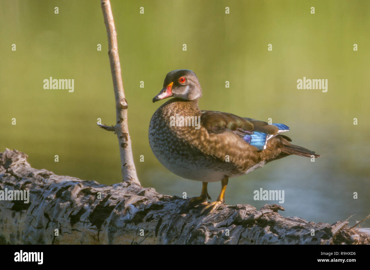 Colourful wood duck standing on fallen tree with water in background at Inglewood Bird Sanctuary in Calgary, Alberta, Canada Stock Photo