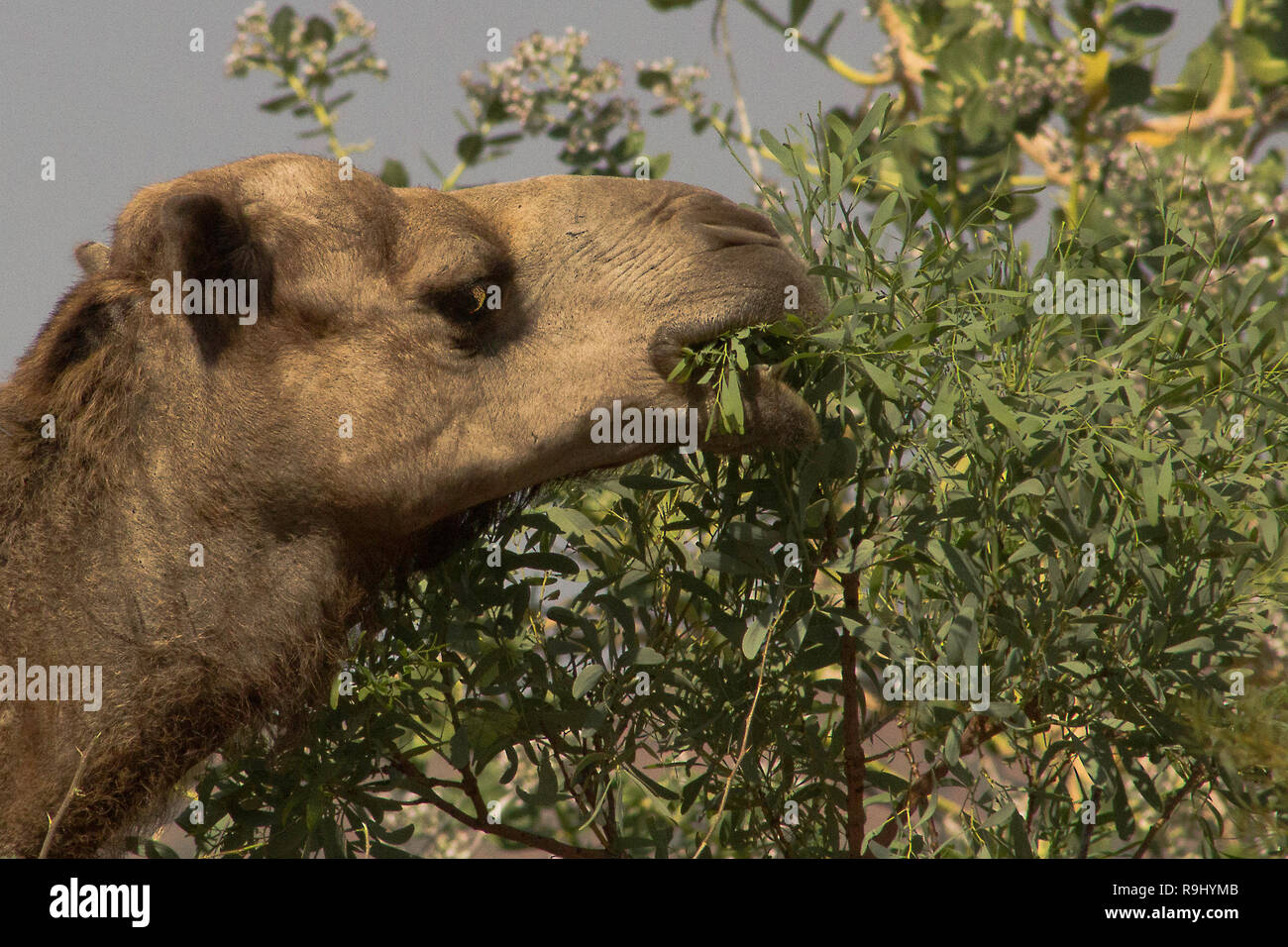 An Australian camel eyes the camera as it munches gum leaves - Stock Image