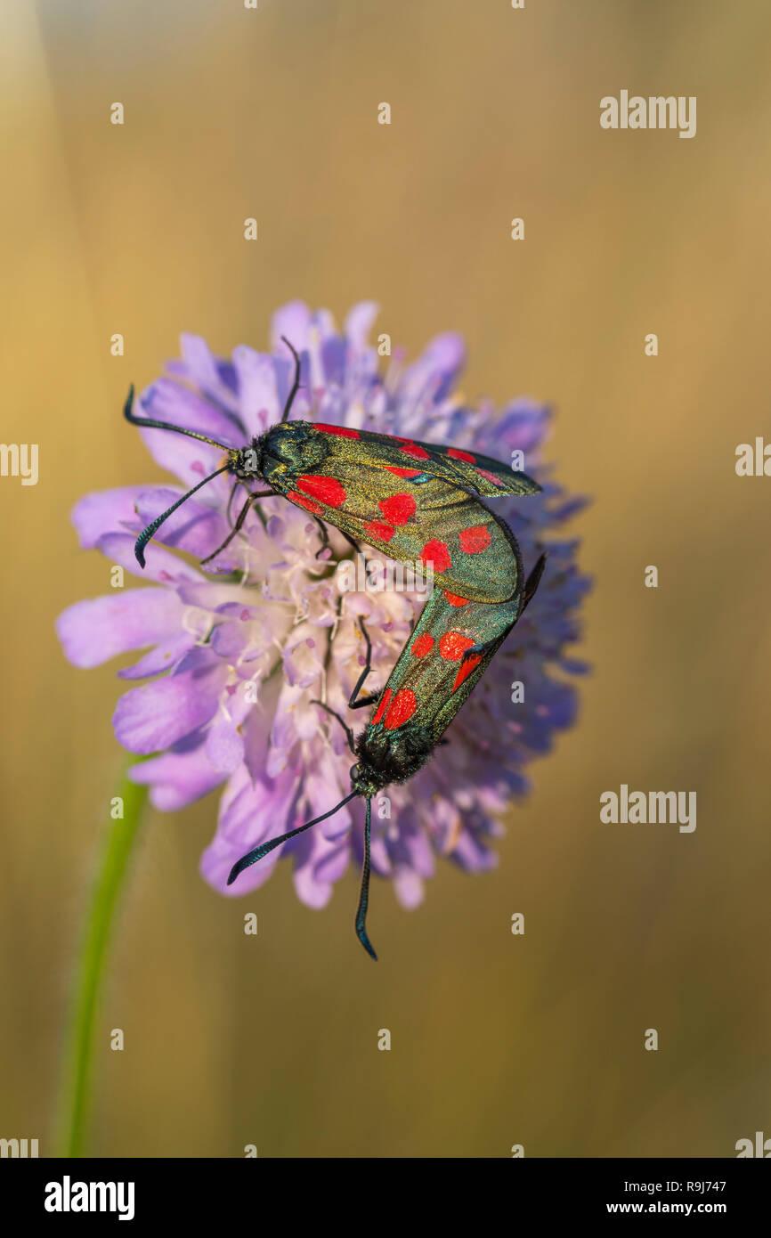 Six Spot Burnet Moth; Zygaena filipendulae Two on Field Scabious Cornwall; UK - Stock Image
