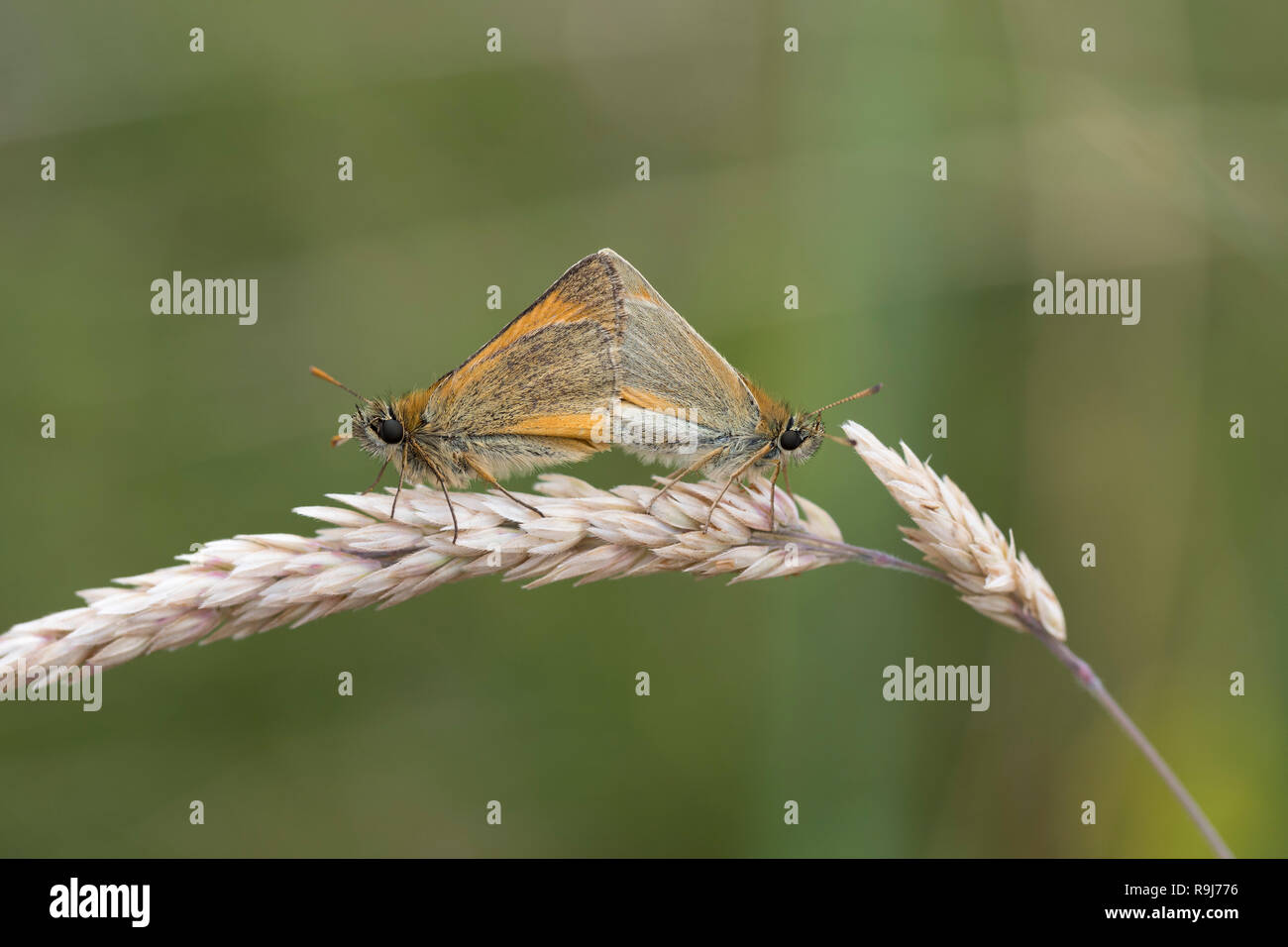 Small Skipper Butterfly; Thymelicus sylvestris Two; Mating Yorkshire; UK - Stock Image