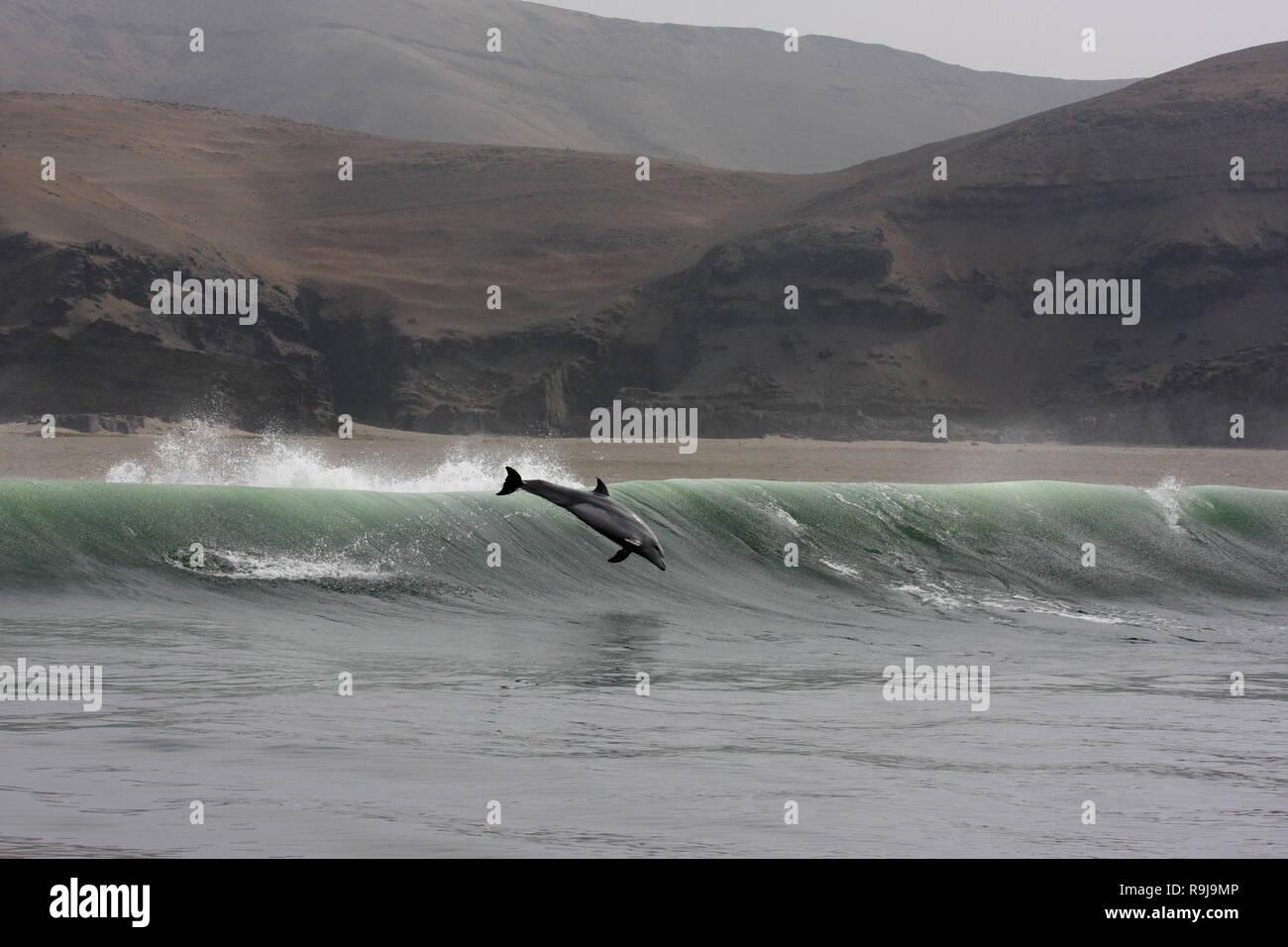Bottlenose dolphin jump, Tursiops truncatus, Peru - Stock Image