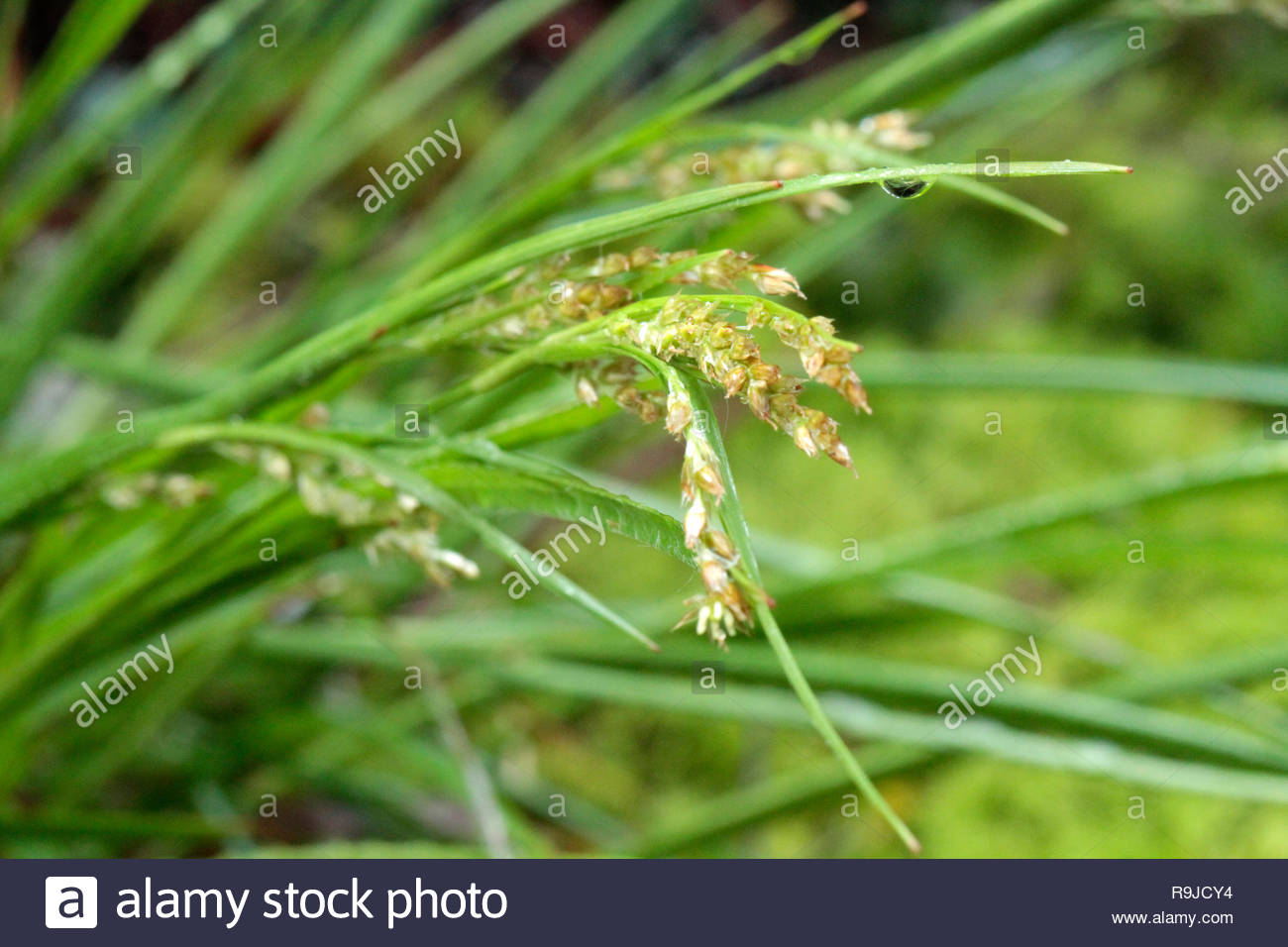 Sedge closeup, Limpy Rock National Research Area, Umpqua National Park, Oregon, USA - Stock Image