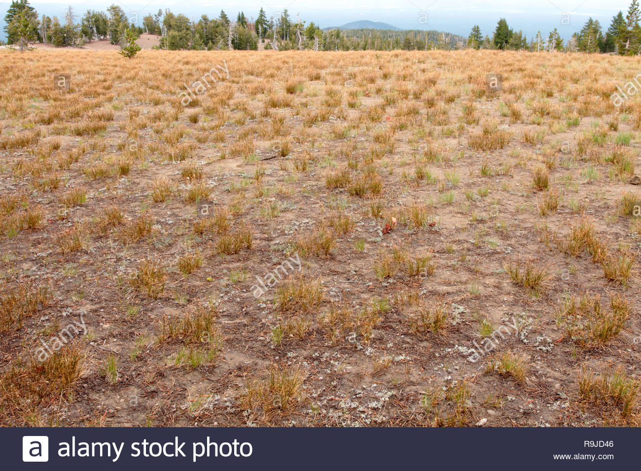 Bunch grasses (Poaceae), Mount Scott Trailhead, Crater Lake National Park, Oregon, USA - Stock Image
