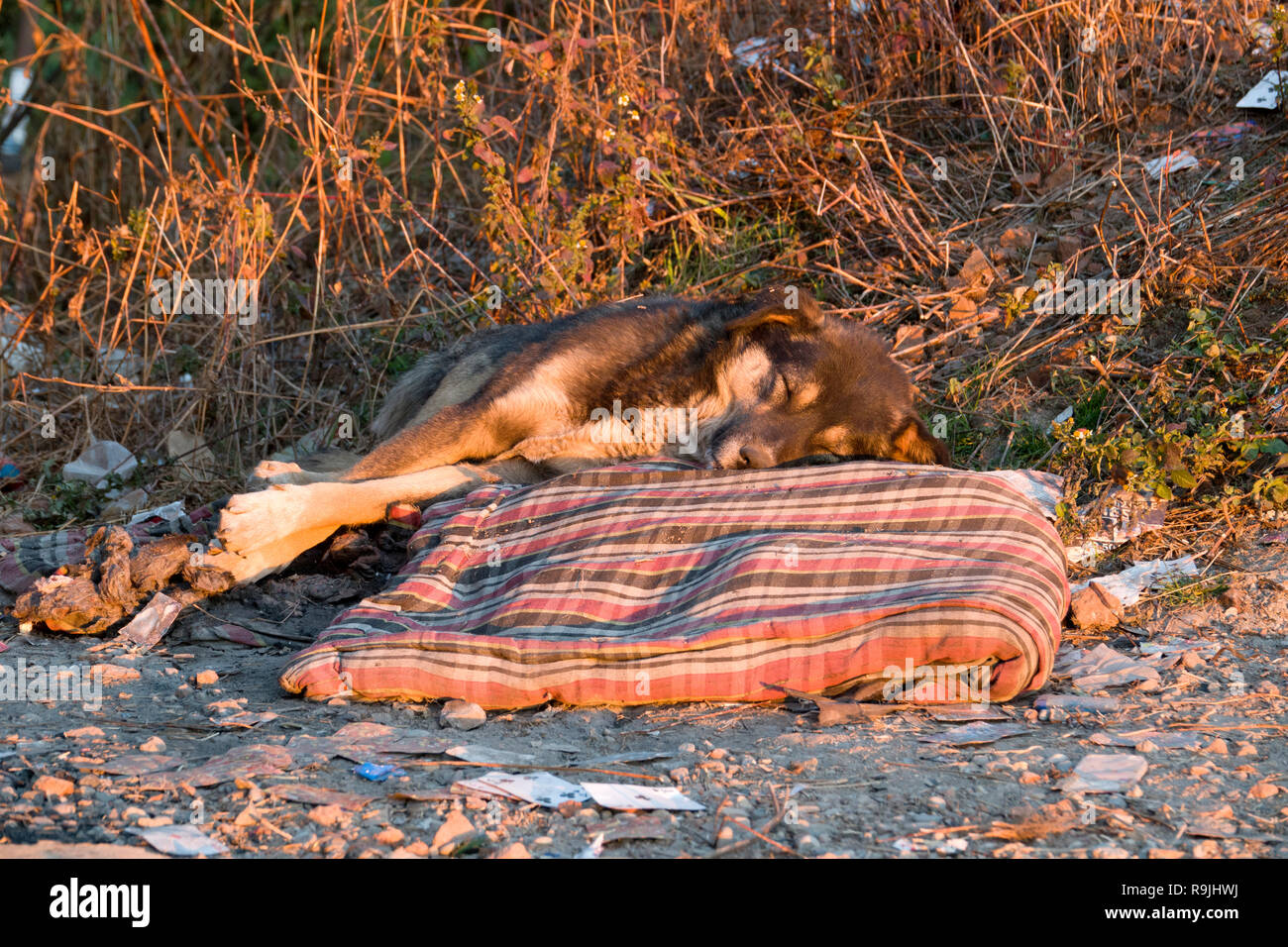 Street dog sleeping on discarded bedding in India - Stock Image