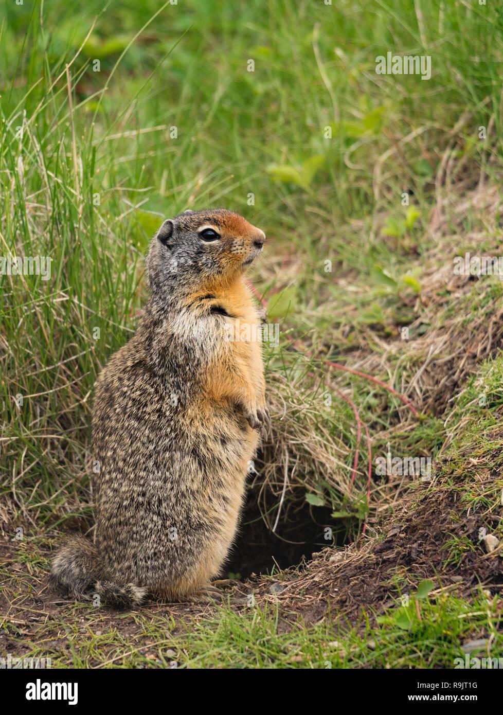 Columbian ground squirrel - Urocitellus columbianus - Spermophile de Columbia. Canadian Wildlife in  Alberta Stock Photo