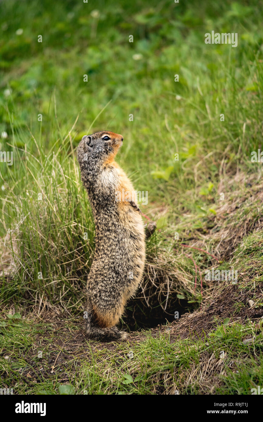 Columbian ground squirrel - Urocitellus columbianus - Spermophile de Columbia - standing up. Fauna in the Rocky Mountains, Alberta, Canada - Stock Image